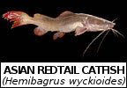 Mega Fishing Thailand species identification pages Asian Redtail Thai Redtail catfish picture