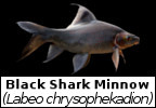 Mega Fishing Thailand fish species identification page Black Shark Minnow scientific picture