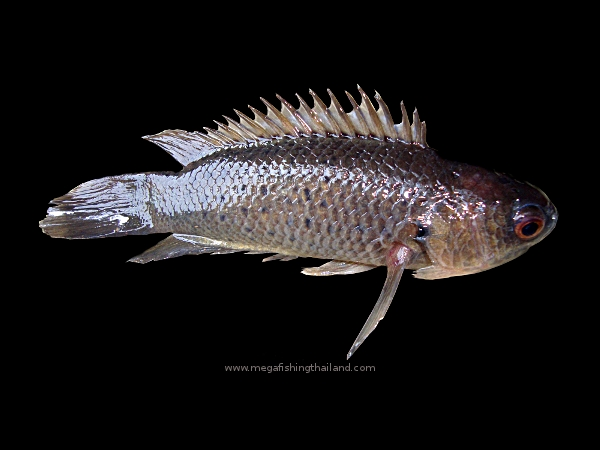 Climbing perch anabas testudineus megafishingthailand for Perch fish facts