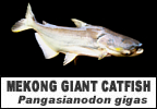 Mega Fishing Thailand Fish species pages Giant Mekong catfish title image