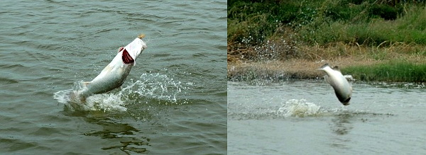 Image of Barramundi doing aerial displays of tail walking photographed on guided fishing holiday in Thailand.