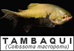 Fish species that have been introduced to Thailand Tambaqui Colossoma macropomu