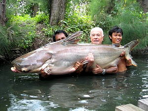Image showing a Giant Mekong catfish (Pangasianodon gigas) caught on guided fishing trip in Thailand.
