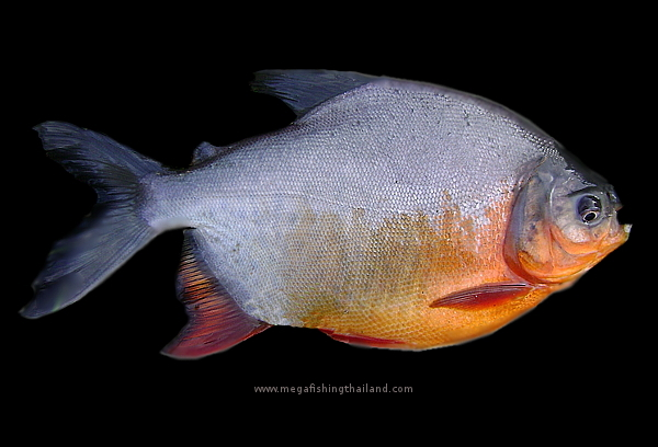 ... Thailand Fish species pages Pacu red Bellied Pacu information graphic