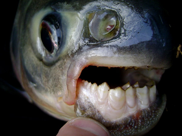 Red bellied pacu colossoma bidens megafishingthailand for Pacu fish teeth