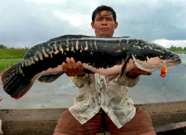 Bait To Catch Snakehead Fishing Superstars - photo#22