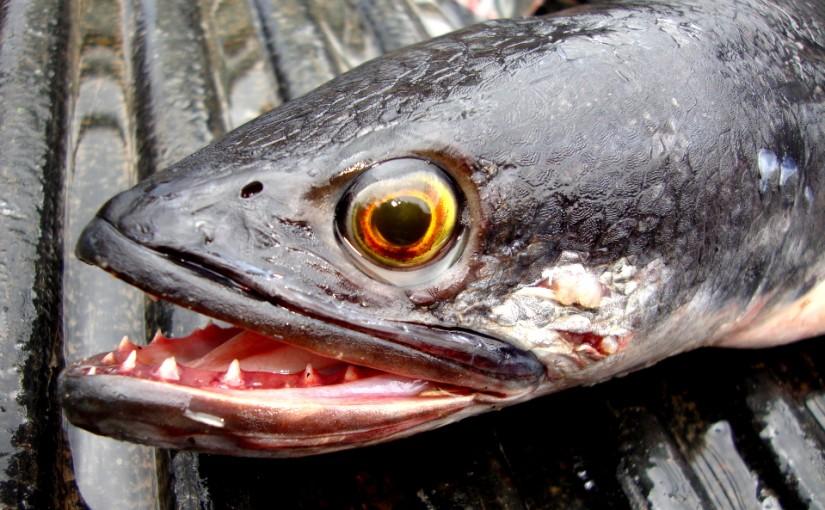 snakehead_fishing_prachuap