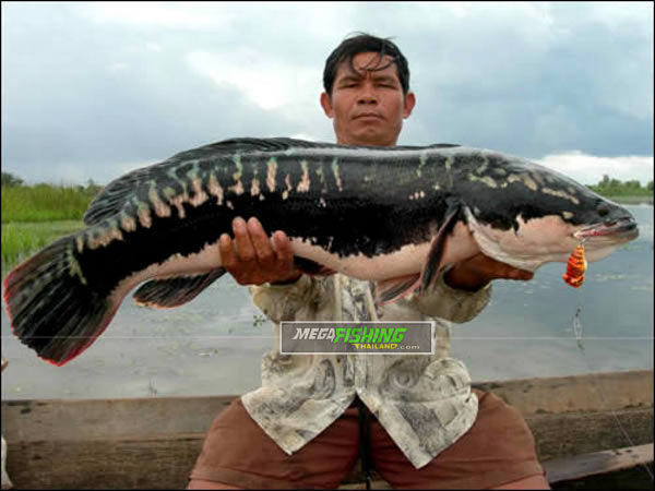 12kg Giant Snakehead (Channa micropeltes) caught by Thai angler on topwater frog popper lure