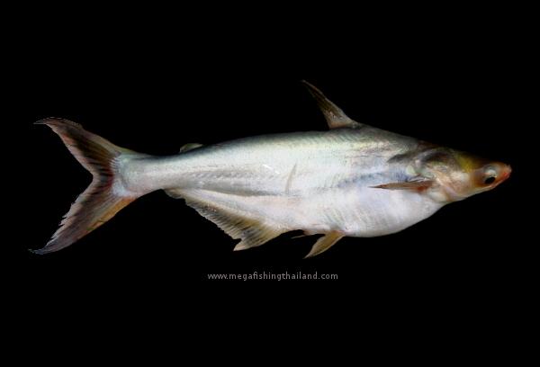 Striped catfish pangasius hypophthalmus for Scientific name of fish