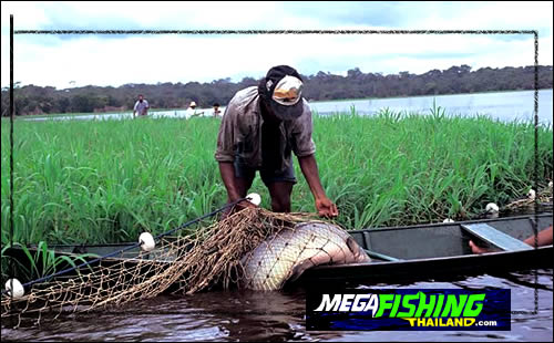 arapaima_being_harvested_in_brazil